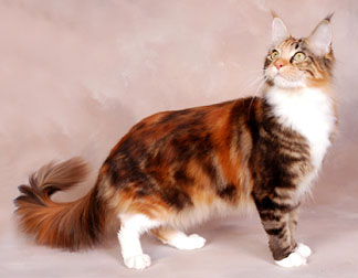 Aspenheart of ThunderClan Colorbrowntobierwhite
