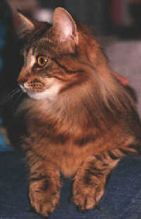 [Maine Coon Cat]